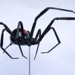 Redback spider NeilWilkin
